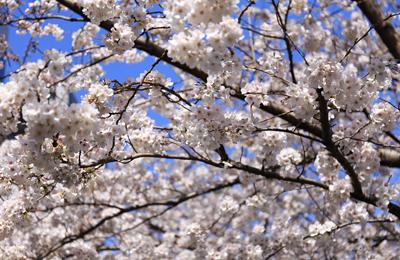 【速報】目黒川の桜、キテマス! 5~8分咲き(もっとかも)の今日の様子を写真でお届け。
