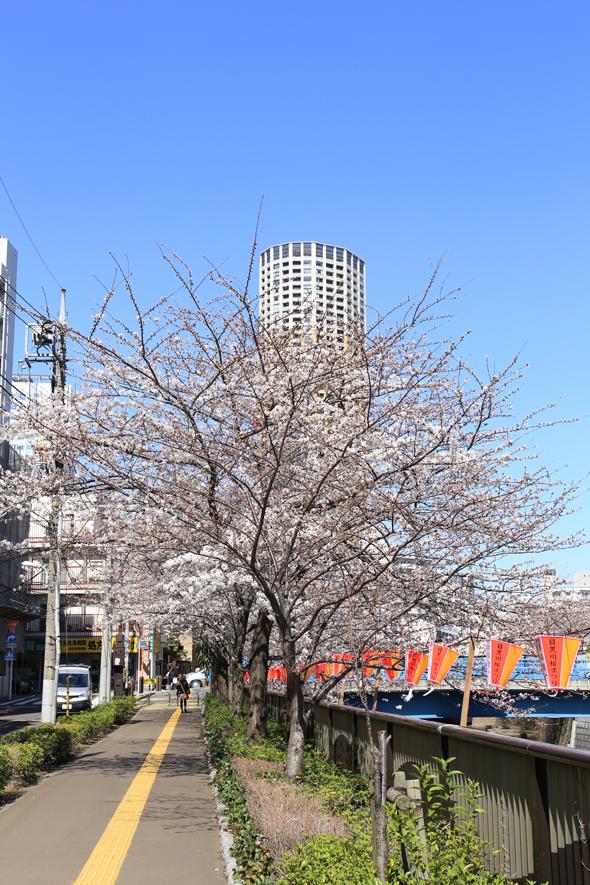 sakura_20130321_14