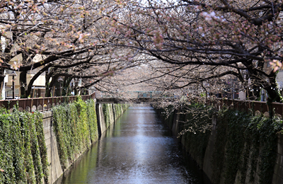 お花見シーズン到来。中目黒エリアの目黒川沿いの桜の本数を実際に数えてみました。