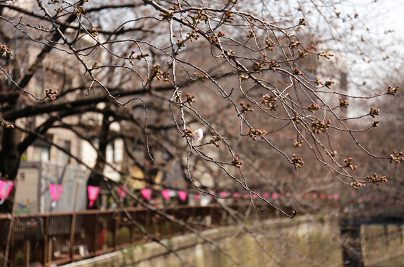 目黒川の桜2014