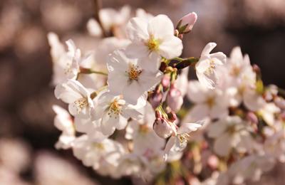 【桜2014】開花状況とお花見時期開催の主なお祭り、イベント情報。