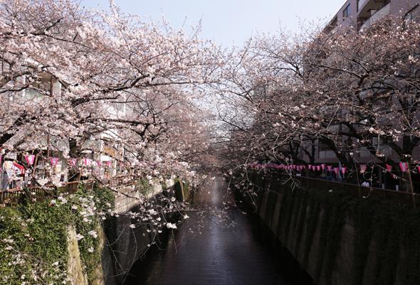 目黒川 桜 アーチ