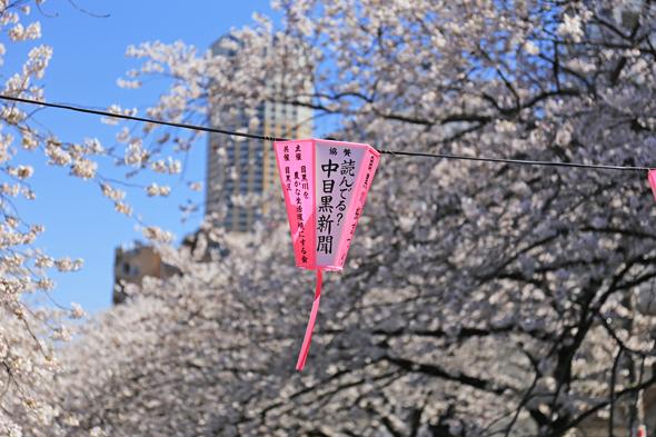 桜2014満開
