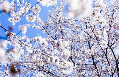 【桜2014】プロに撮ってもらった満開の桜の写真を写真がビューティフルで気持ちいい!