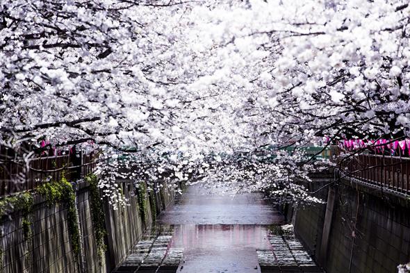 桜2014たいちゃん
