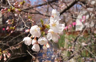 【桜2015】アーユーレディ?今年もやってきた桜の季節。開花した目黒川の桜の本日の様子を速報。