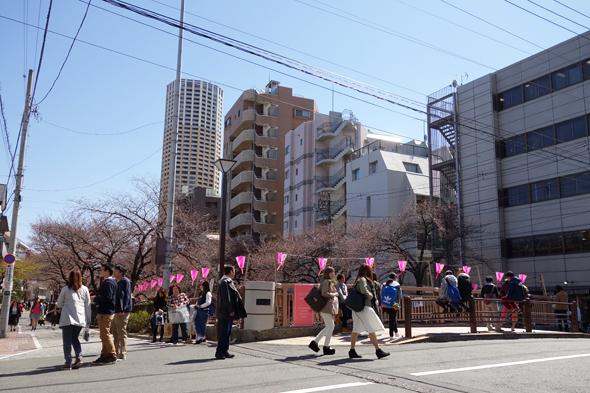 2015sakura_kaika