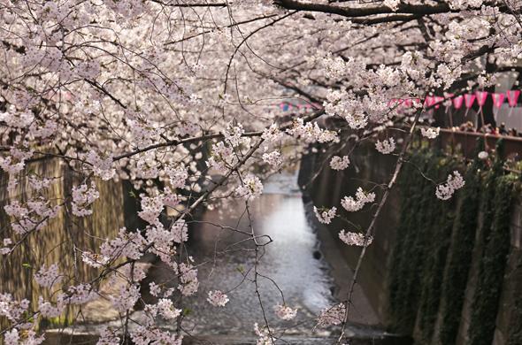 2015桜 目黒川