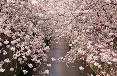 【桜2015】満開写真速報!2015年3月30日、本日の中目黒周辺 目黒川の満開桜フォト