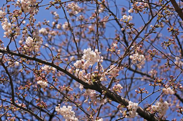 桜20150326