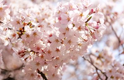 【桜2016】速報:3/31中目黒の桜は「ほぼ満開」です。今週末は見頃間違いなし!