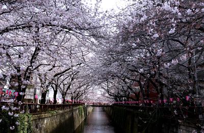 【桜2016】速報[MOVIE]:4/1「ほぼほぼ満開」本日午前中の中目黒駅~中の橋の桜を動画レポート。