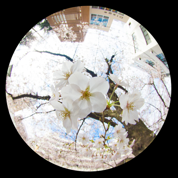 中目黒の桜2017